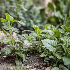 Quelle est la plante qui repousse les moustiques ?