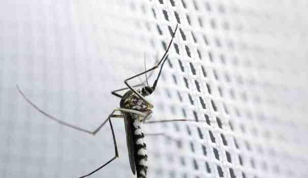 Quelle odeur fait fuir les moustiques ?