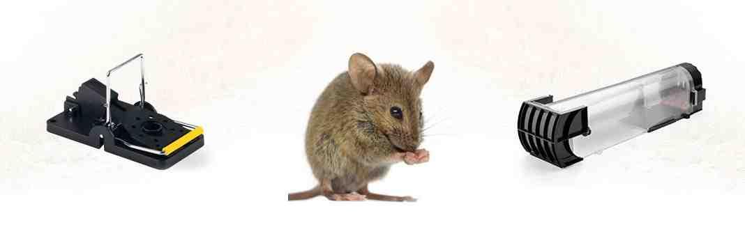 Comment attirer les rats ?