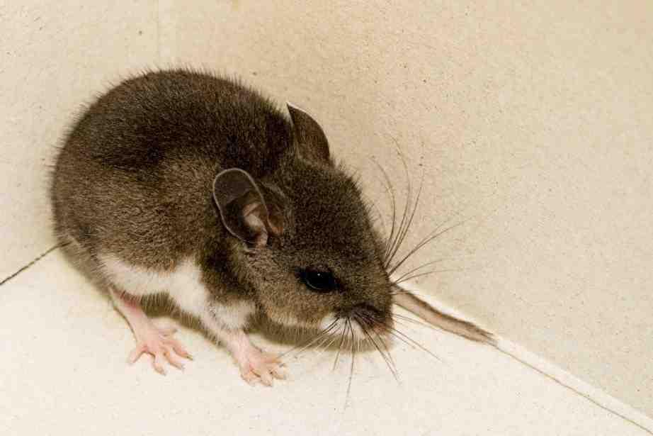 Comment faire sortir les souris de leur cachette ?