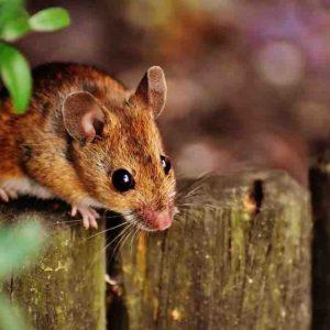Quel aliment attire les souris ?