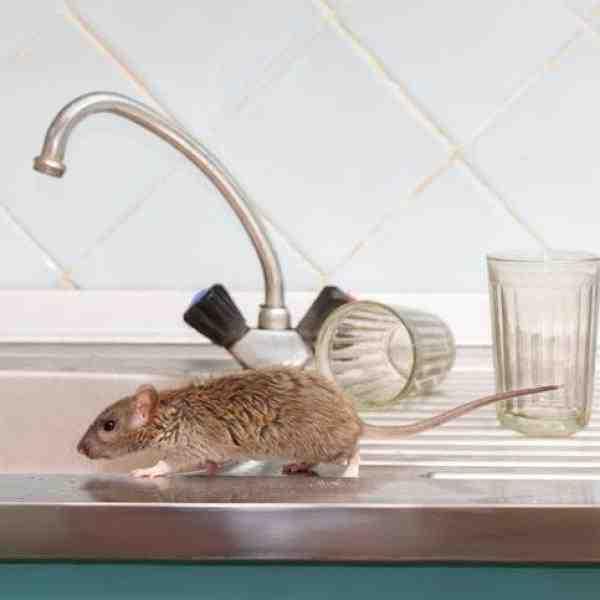 Quel aliment pour piège à rat ?