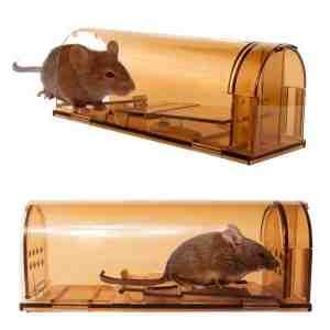 Quel est l'aliment préféré des rats ?