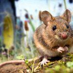 Quel est le meilleur appât pour attraper un rat ?