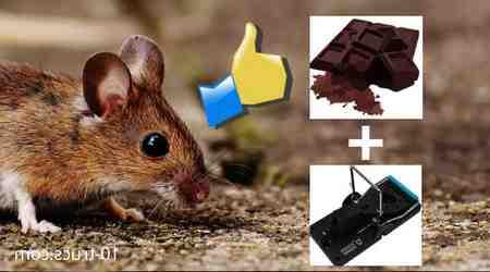 Quel est le meilleur appat pour les rats ?