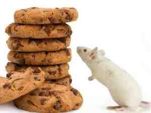 Quel est le meilleur appât pour les souris ?