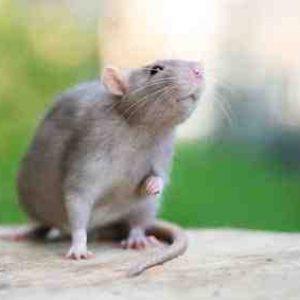 Quelle odeur attire les souris ?