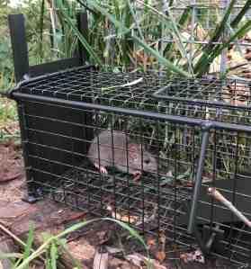 Comment attraper un rat dans un piège ?