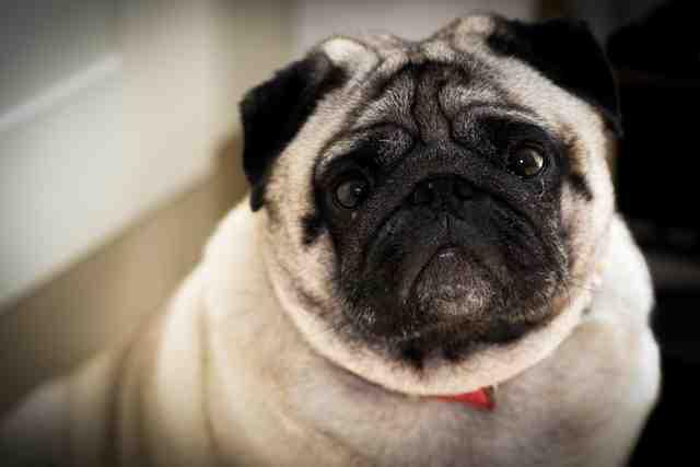 Comment diminuer l'odorat d'un chien ?
