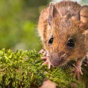 Comment eliminer des rats dans le jardin ?