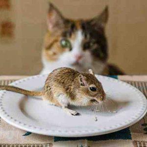 Comment faire fuir les rats ?