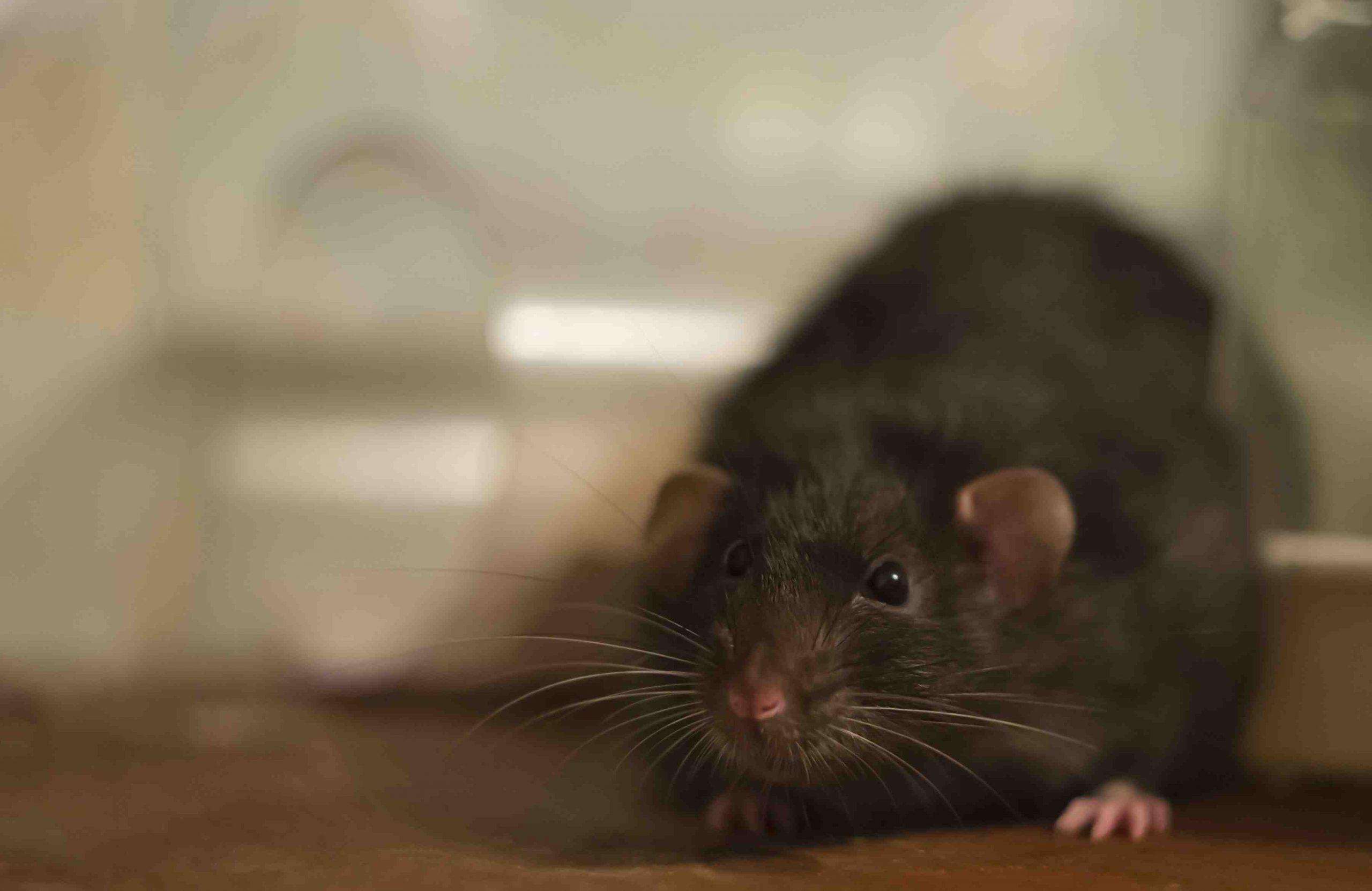 Comment faire fuir les rats dans le jardin ?