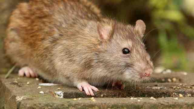 Comment faire fuir les rats naturellement ?
