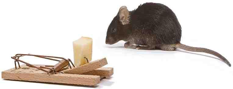 Comment faire fuire des rats naturellement ?