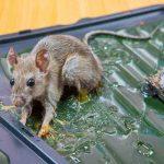Comment faire sortir le rat de sa cachette ?
