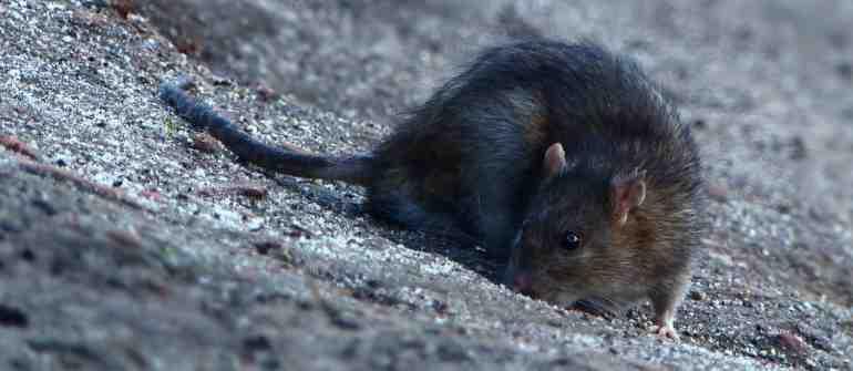 Comment prendre des rats ?