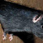 Comment se débarrasser des rats avec du Coca ?