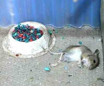 Comment se débarrasser des rats rapidement ?
