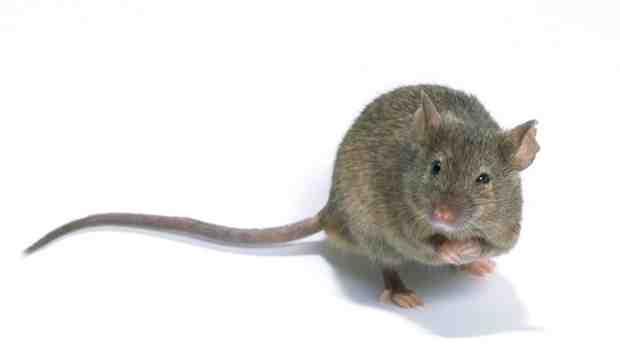 Comment se débarrasser des rats remède de Grand-mère ?