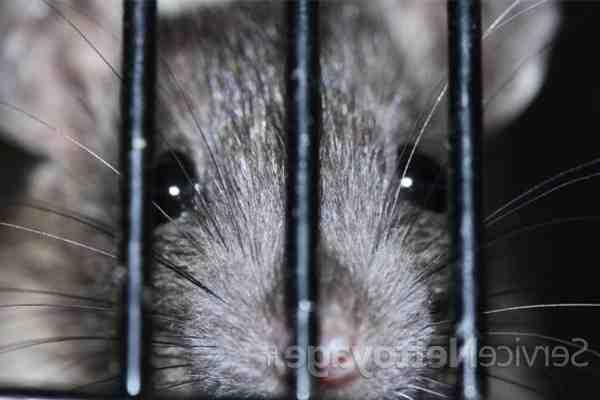Comment tuer les rats naturellement ?
