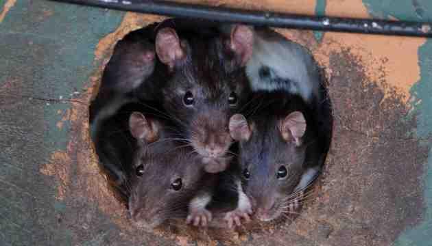 Comment un rat rentre dans un appartement ?