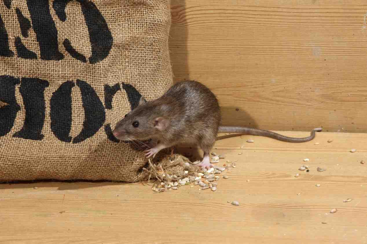 Est-ce que la javel fait fuir les rats ?