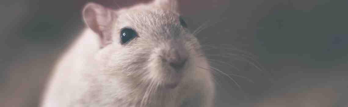 Est-ce que la javel tue les rats ?