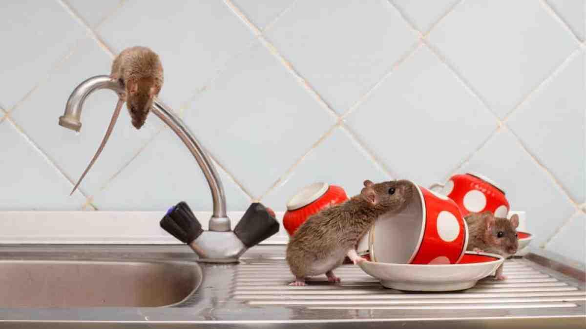 Est-ce que l'eau de Javel repousse les rats ?
