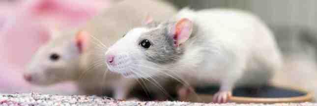 Est-ce que les rats mangent les fruits ?