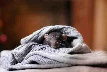 Où se cache un rat ?