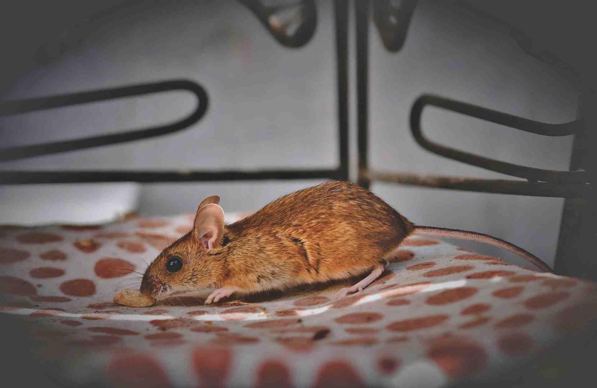 Où trouver les pièges à rats ?
