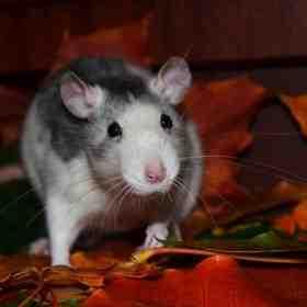 Quel est le meilleur piège à rat ?