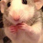 Quel fruit ou légume Peut-on donner à un rat ?
