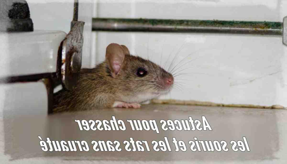 Quel odeur fait fuir les rats ?