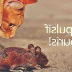 Quel produit naturel contre les rats ?