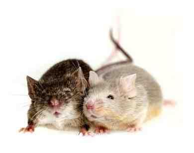 Quelle huile essentielle pour faire fuir les rats ?