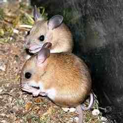 Quelle nourriture pour attraper un rat ?