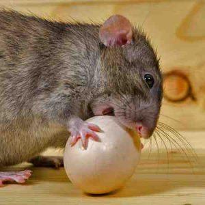Quelle odeur pour repousser les rats ?