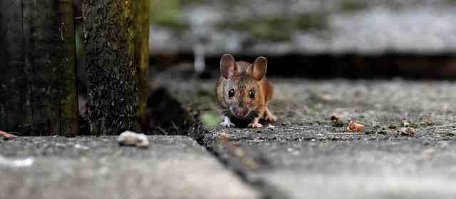 Qu'est-ce que les rats détestent ?