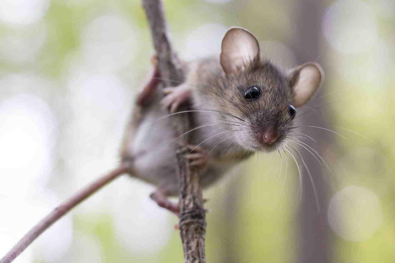 Qu'est-ce qui attire les rats dans un jardin ?