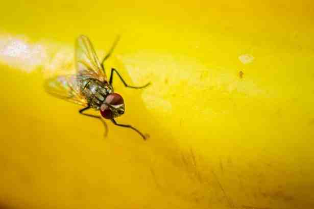 Comment chasser les mouchettes ?