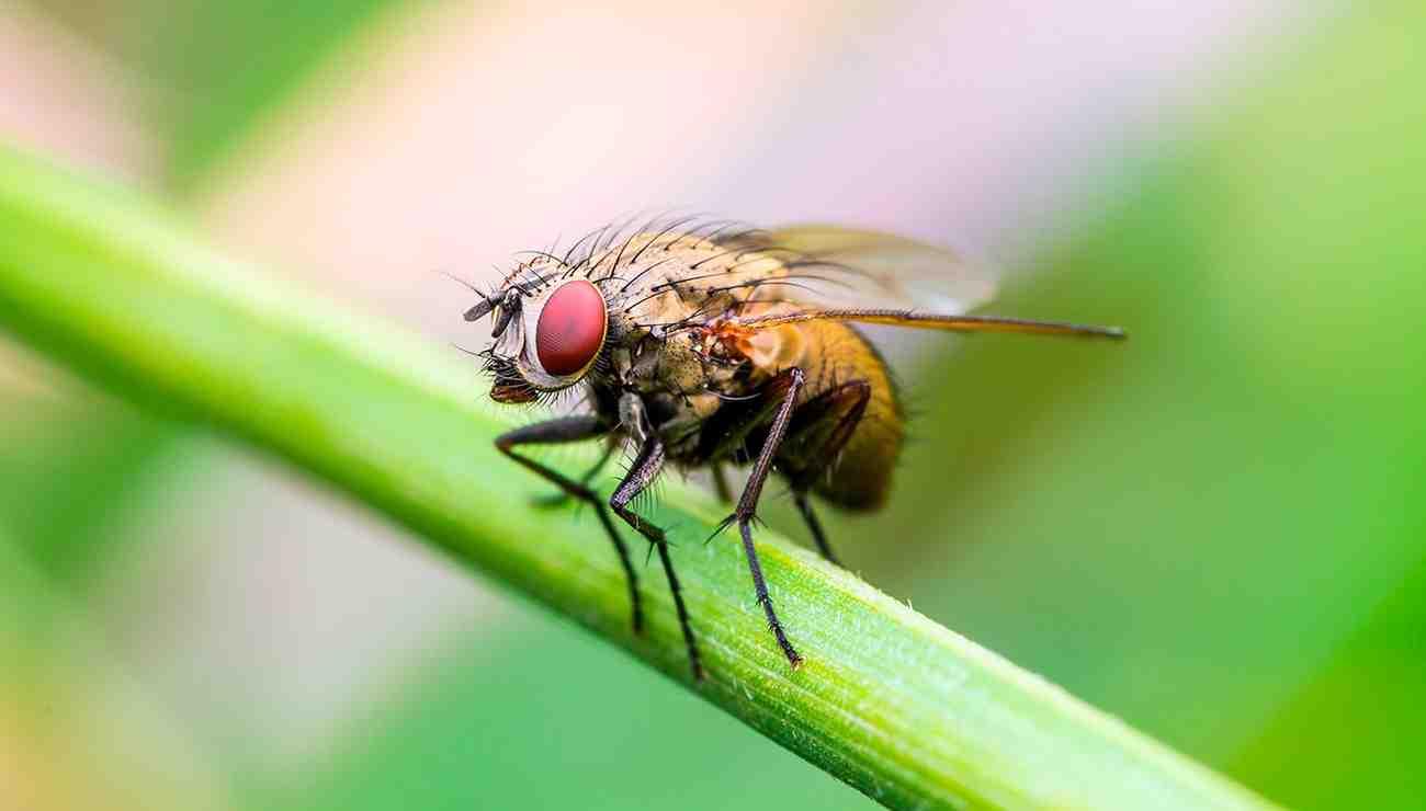 Comment faire fuire les mouches à table ?