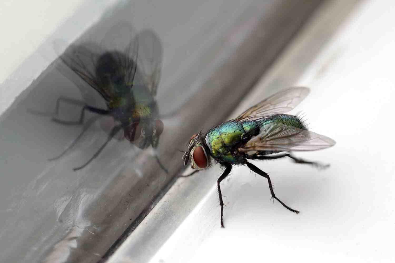 Comment se débarrasser des mouches avec du vinaigre blanc ?