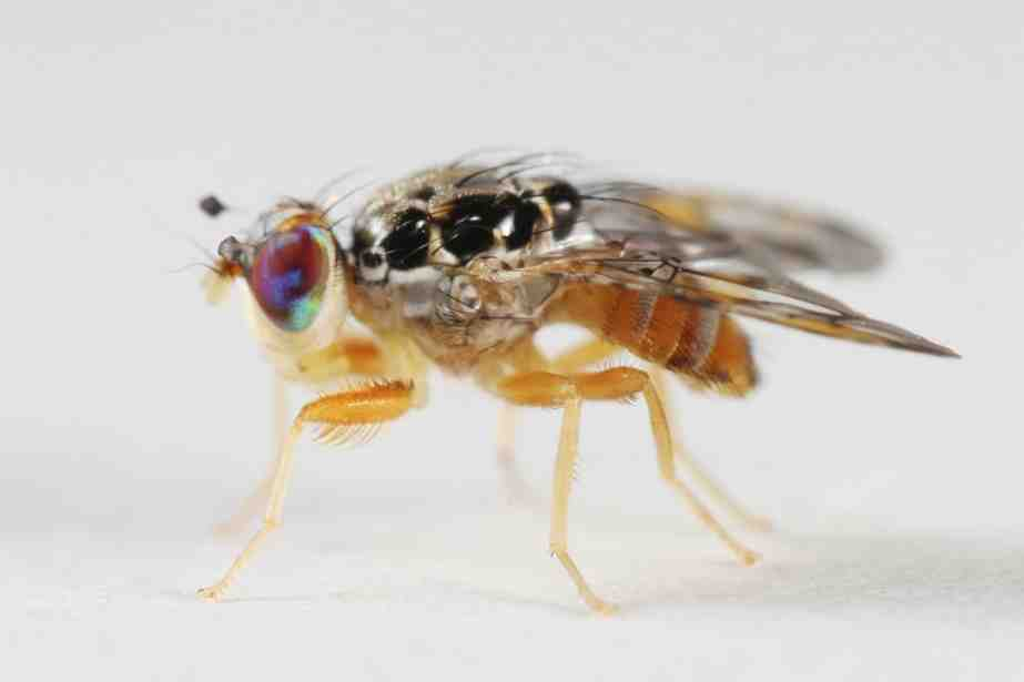 Comment se débarrasser des mouchettes ?