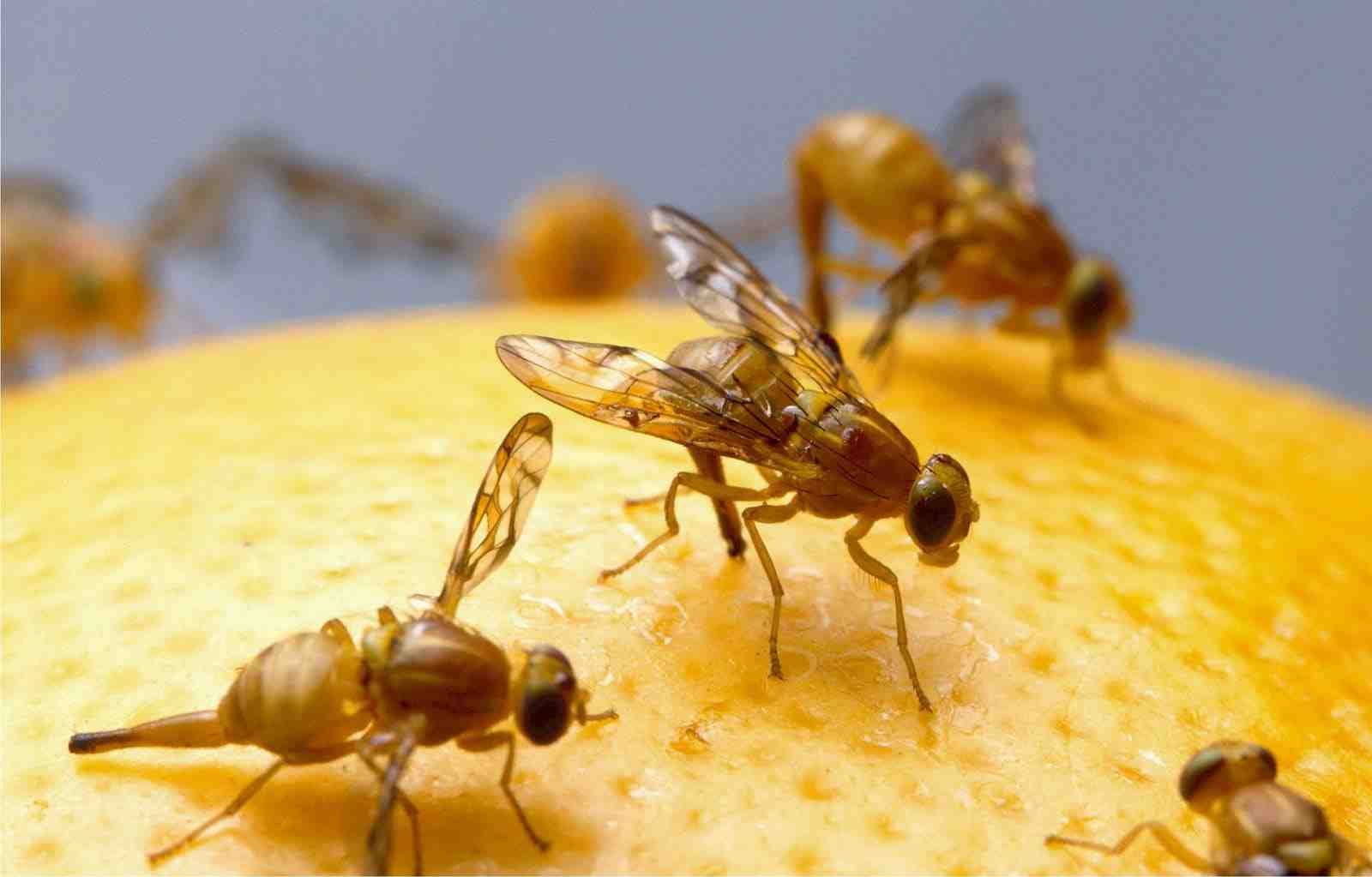 Comment se débarrasser des petites mouches noires dans la maison ?
