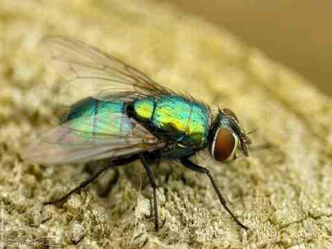 Comment se débarrasser d'une invasion de mouches ?