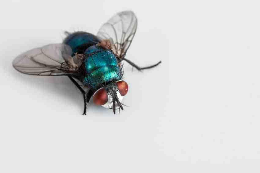 Comment se débarrasser d'une invasion de mouches dans la maison ?