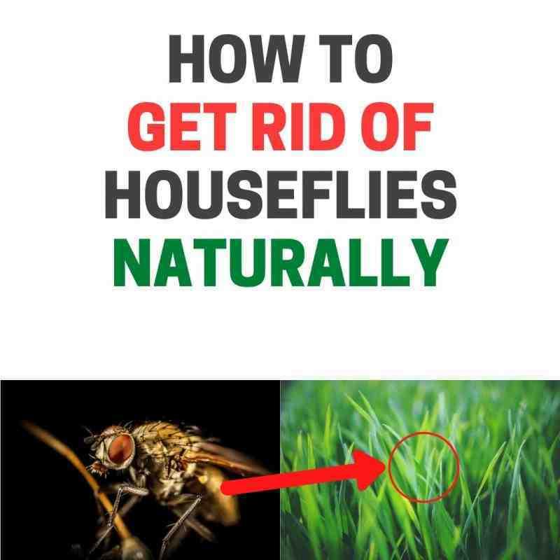 Où la mouche pond ses œufs ?