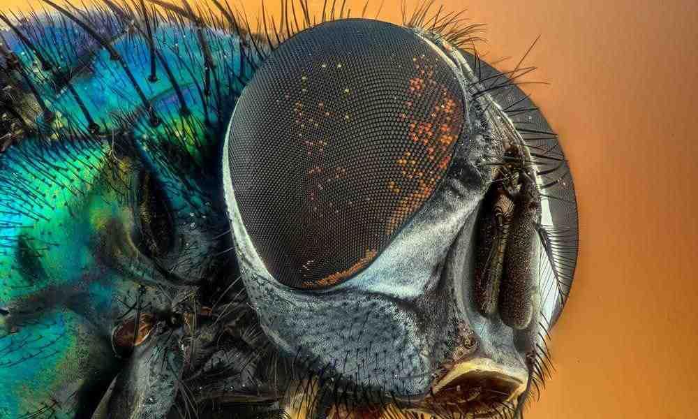 Où pondent les mouches dans les maisons ?