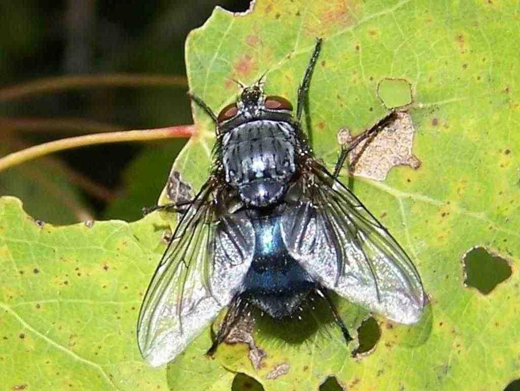 Où se cachent les larves de mouches ?